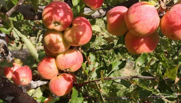Imagen manzanas. Comercio alimentacion asturias